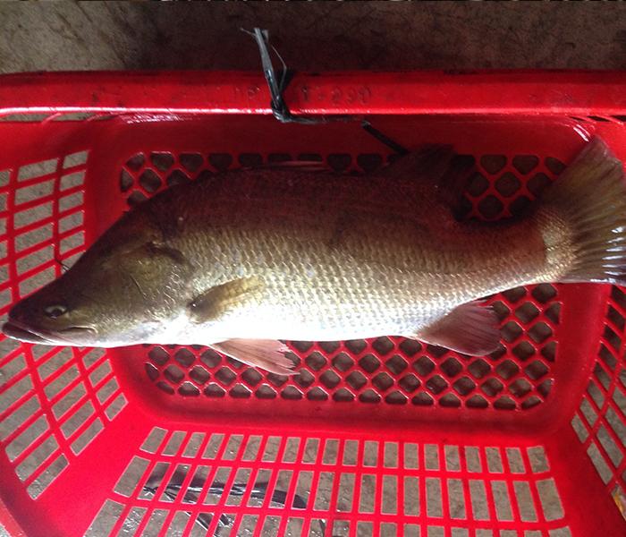 Chọn cá Vược tươi, trọng lượng phù hợp với khẩu phần ăn