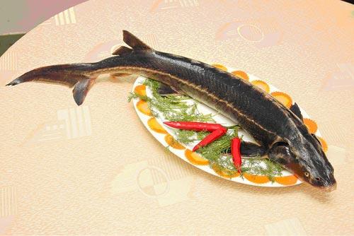 Cá tầm là loại cá xương sụn