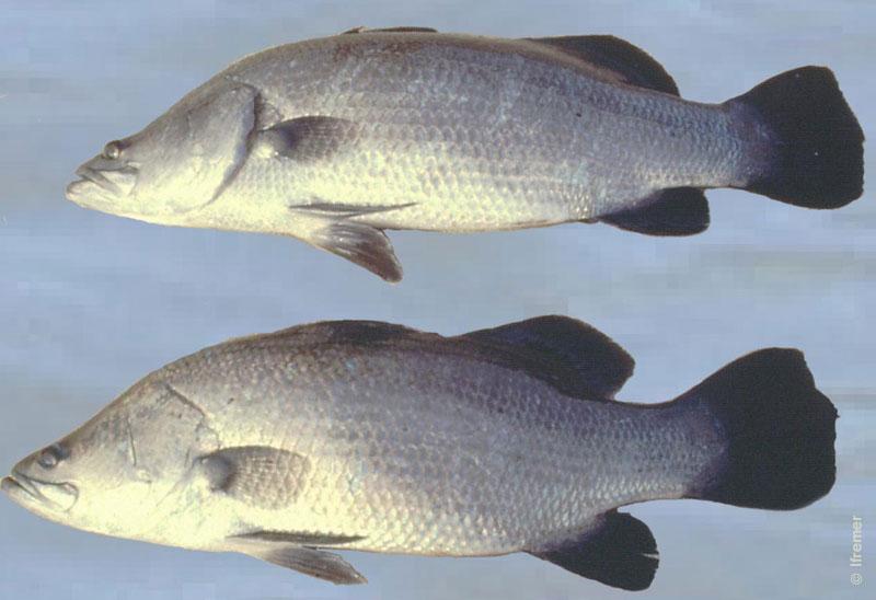 Cá vược có giá trị kinh tế và dinh dưỡng cao