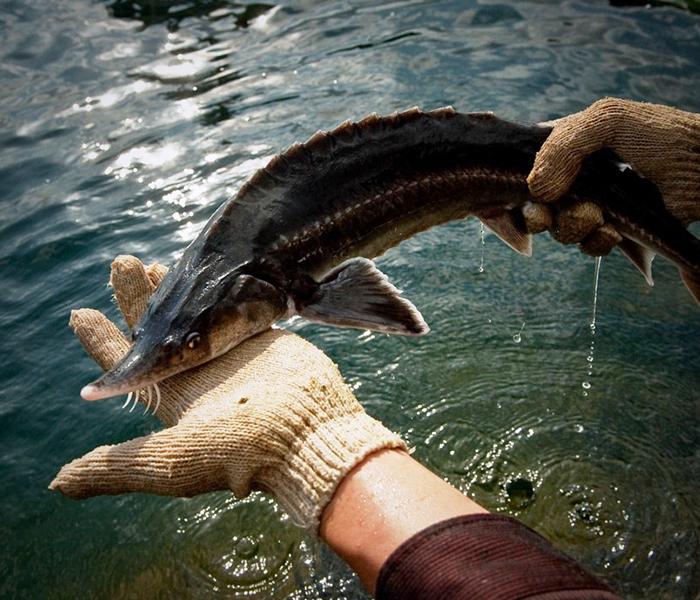 Chọn cá Tầm tươi ngon là khâu rất quan trọng