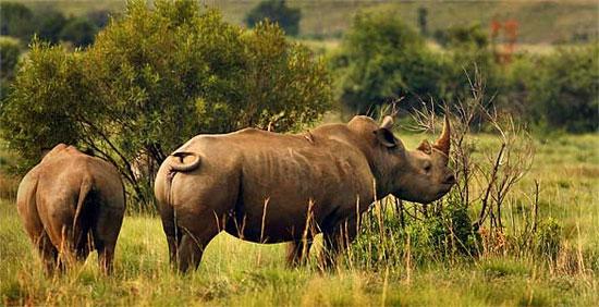 Loài tê giác cần được bảo vệ